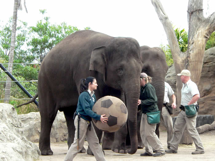 Asian Elephant Keeper Talk at Taronga Zoo