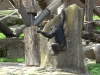 Chimpanzee at Taronga Zoo