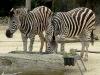 Zebra's Feeding at Taronga Zoo