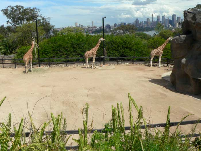 Giraffe Enclosure at Taronga Zoo