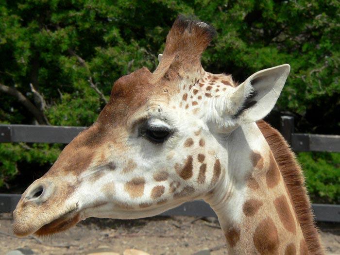 Giraffe Head at Taronga Zoo